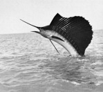 Sailfish Leap