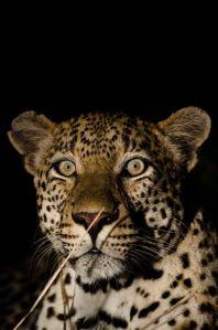 African Leopard, Kruger National Park