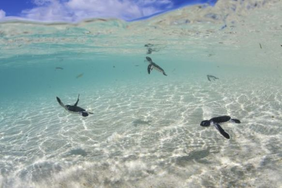 Baby Endangered Green Sea Turtles start their lives at sea